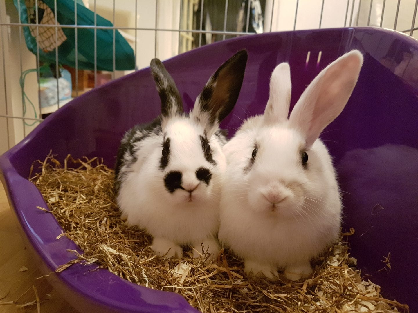 Introducing Hopper & Twinkie – our new bunnies