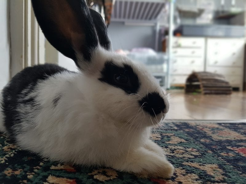 Mini rex rabbit male